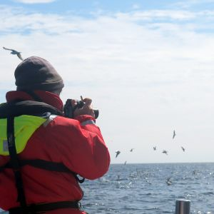 Studying sea bird colonies off the north coast of Scotland