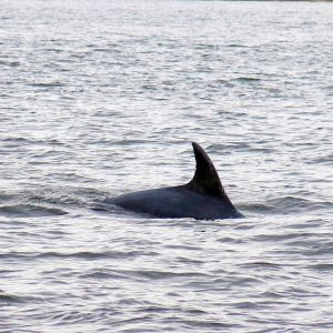bottlenose dolphin enjoying the moray firth